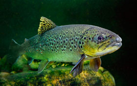 brown-trout-of